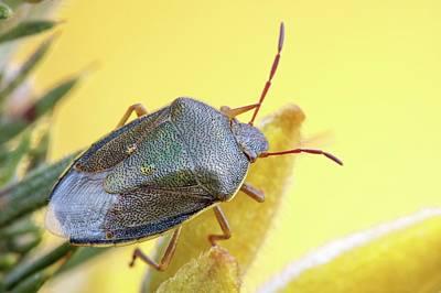 Gorse Shieldbug Print by Heath Mcdonald