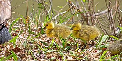 Baby Bird Photograph - Goslings by Betsy C Knapp