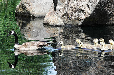 Goslings Reflection Original by Abram House