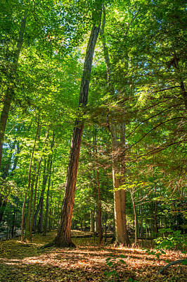 Tim Buisman Photograph - Gosnell Big Woods Trees by Tim Buisman