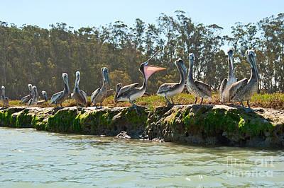 Gossip - Group Of Brown Pelican Pelecanus Occidentalis On The Elkhorn Slough. Print by Jamie Pham