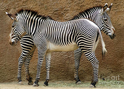 Zebra Photograph - Got Your Back by Dan Holm