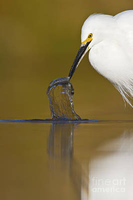 Egret Photograph - Gotcha by Bryan Keil