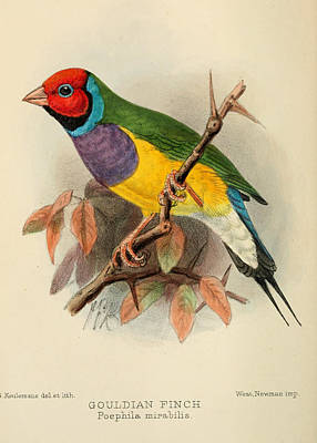 Finch Painting - Gouldian Finch by J G Keulemans