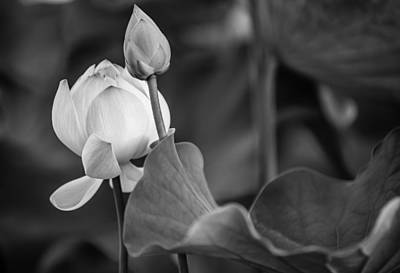 Graceful Lotus. Balck And White. Pamplemousses Botanical Garden. Mauritius Print by Jenny Rainbow