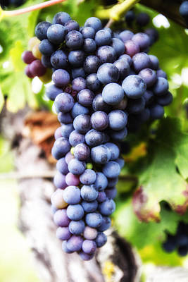 Grapevine Photograph - Grape Cluster by Georgia Fowler