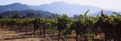 Vineyard In Napa Photograph - Grape Vines In A Vineyard, Napa Valley by Panoramic Images