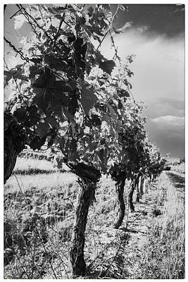 Grapevine Photograph - Grape Vines In Mono by Georgia Fowler