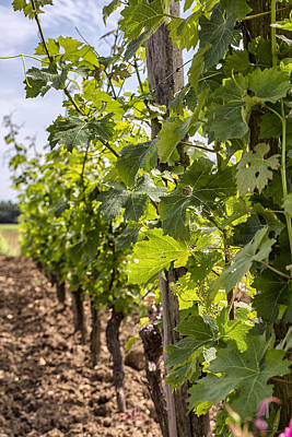 Grape Vines In South West France Print by Georgia Fowler