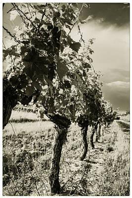 Grape Vines Toned Print by Georgia Fowler