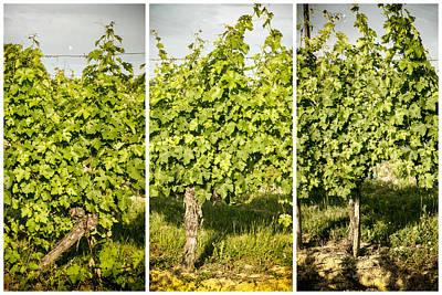 Grape Vines Triptych Print by Georgia Fowler