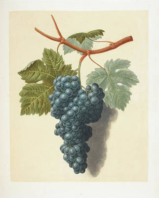 Pomona Photograph - Grapes by British Library
