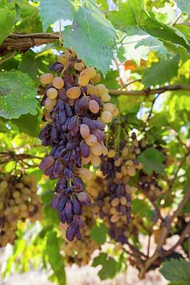White Grape Photograph - Grapes Growing In Bakersfield by Ashley Cooper