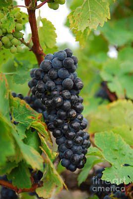 Grapes Print by Hannes Cmarits