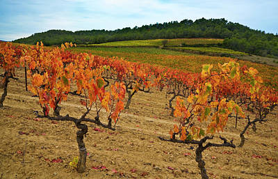 Grapes In A Vineyard Ready Print by Panoramic Images