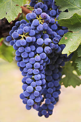 Bunch Of Grapes Photograph - Grapes Merlot Red Wine Variety Growing by Ken Gillespie