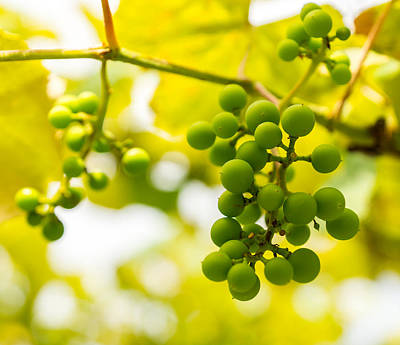 Grapes On The Vine - Finger Lakes Vineyard Print by Photographic Arts And Design Studio