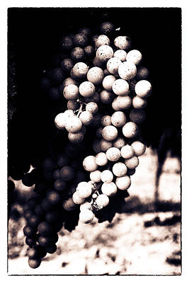 Grapevine Photograph - Grapes On The Vine - Toned by Georgia Fowler