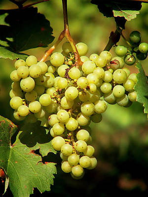 Ripe Photograph - Grapes - Yummy And Healthy by Christine Till