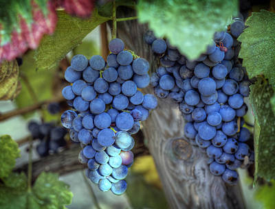 Vino Photograph - Grapevine by Al Hurley