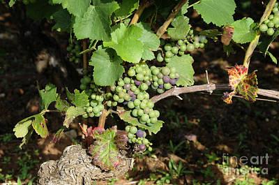Grapevine. Burgundy. France. Europe Print by Bernard Jaubert