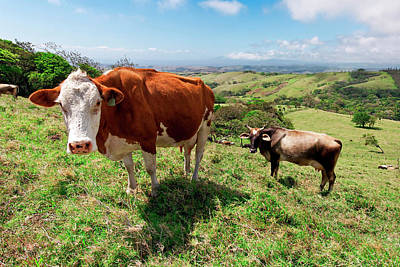 Fed Photograph - Grass Fed Cattle, Costa Rica by Susan Degginger