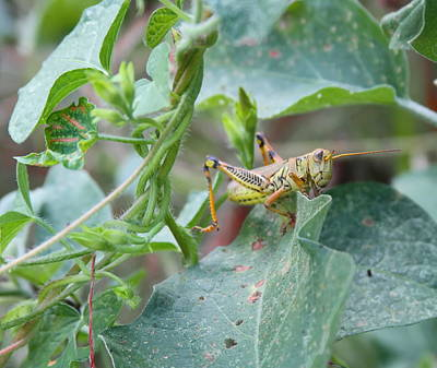Wing Photograph - Grasshopper On Vine by Cathy Lindsey