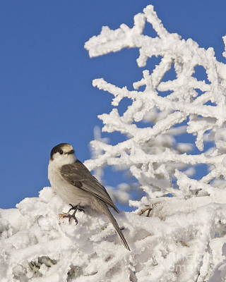 Washington Photograph - Gray Jay 4 by Sean Griffin