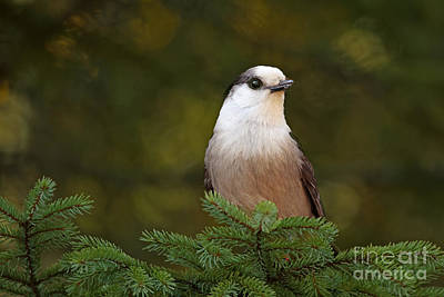 Gray Jay At Algonquin Provincial Park Canada Print by Inspired Nature Photography Fine Art Photography