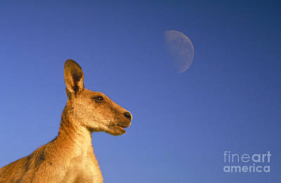 Kangaroo Photograph - Gray Kangaroo by Mark Newman