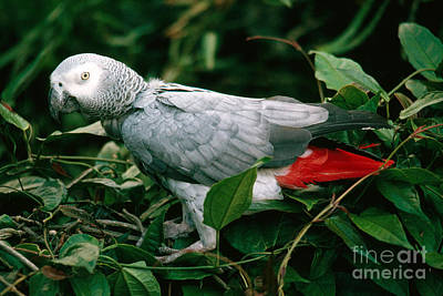 Parrot Photograph - Gray Parrot by Gregory G. Dimijian, M.D.