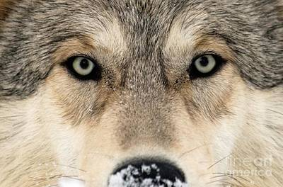 Gray Wolf Face Print by Louise Murray
