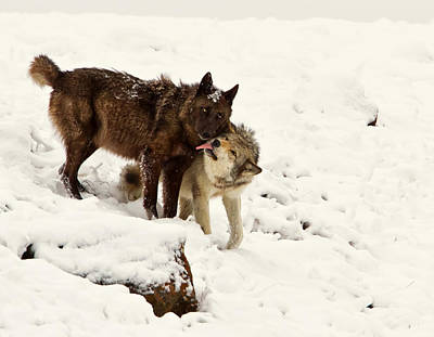 Black. Timber Wolf Photograph - Gray Wolf Licking Black Wolf  by James Futterer