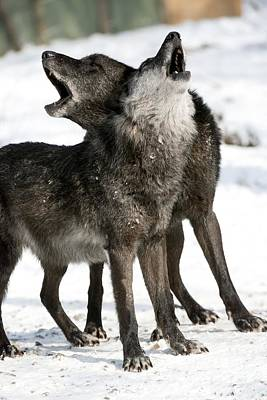 Black. Timber Wolf Photograph - Gray Wolf by Louise Murray