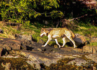 Black. Timber Wolf Photograph - Gray Wolf by Robert Bales
