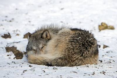 Gray Wolf Sleeping Print by Louise Murray