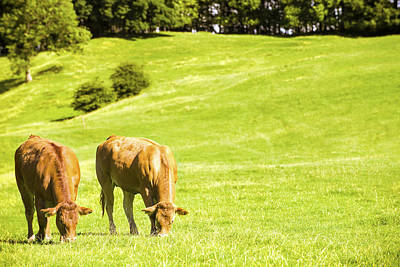 Grazing Cows Print by Amanda And Christopher Elwell
