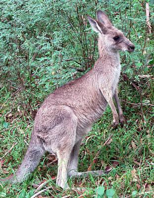 Kangaroo Photograph - Grazing In The Grass by Ellen Henneke