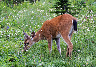 Buck Photograph - Grazing Young Buck by Mike Dawson