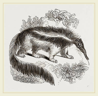 Ant Drawing - Great Ant-eater by Litz Collection
