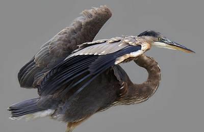 Great Blue Heron - # 4 Print by Paulette Thomas