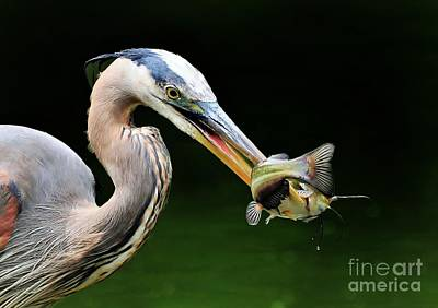 Great Blue Heron And The Catfish Original by Kathy Baccari