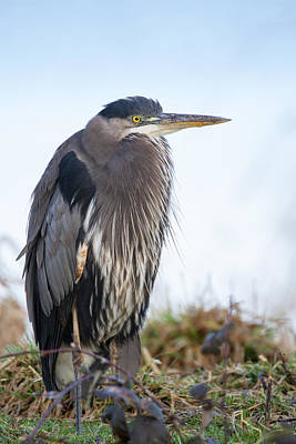 Great Blue Heron At Rest Print by Angie Vogel