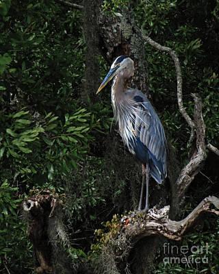 Great Blue Heron  Print by Deborah Smith