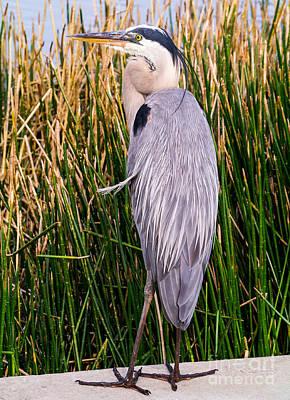Great Blue Heron Print by Edward Fielding