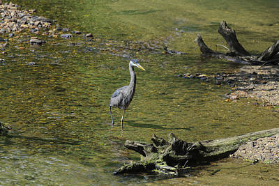 Great Blue Heron In Chattahoochee River Print by Steve Samples
