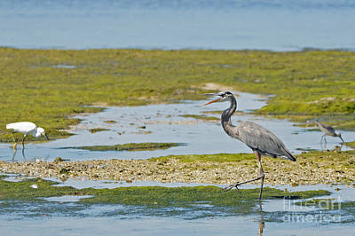 Great Blue Heron In Florida Print by Natural Focal Point Photography