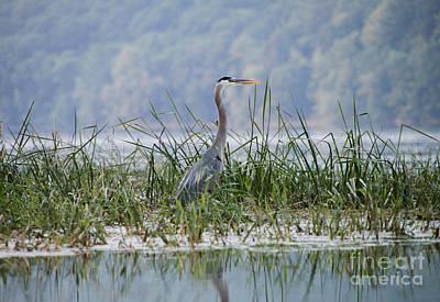 Great Blue Heron On Hemlock Lake Original by Steve Clough