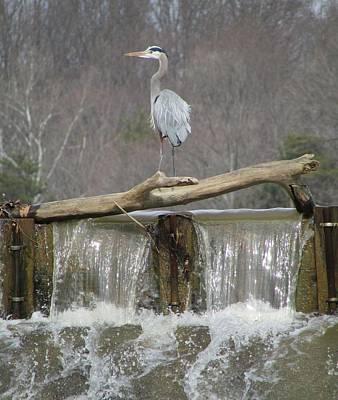 Great Blue Heron On Waterfall Print by J C