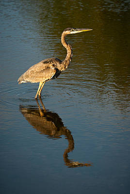 Great Blue Heron Reflection Print by  Onyonet Photo Studios